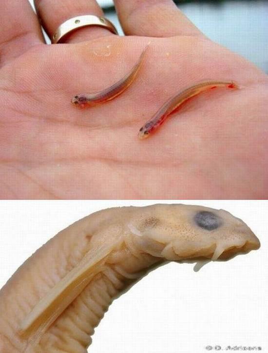 peixeinfernal