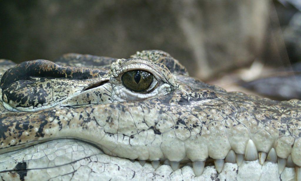 crocodile animal eye alligator 69396