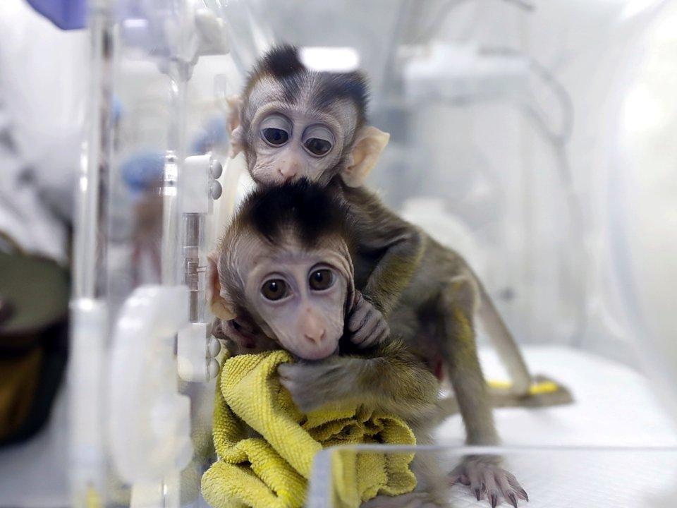 1548458854 Cientistas chineses criaram 5 macacos idênticos clonados e com DNA modificado