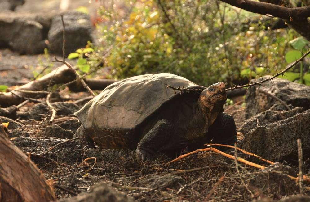 1550878047 Tartaruga gigante declarada extinta há mais de 100 anos foi vista recentemente