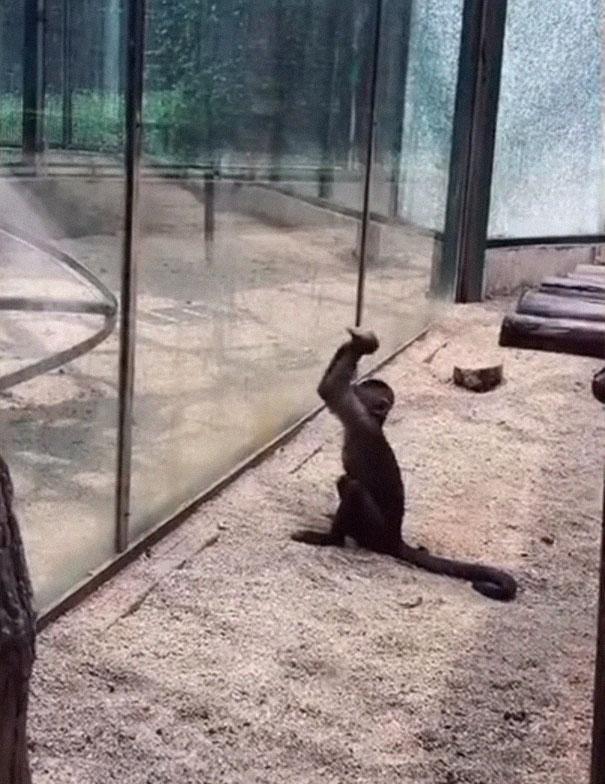 Video mostra macaco quebrando vidro com pedra afiada em zoologico 1