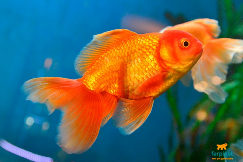pesce rosso giapponese caratteristiche storia curiosita