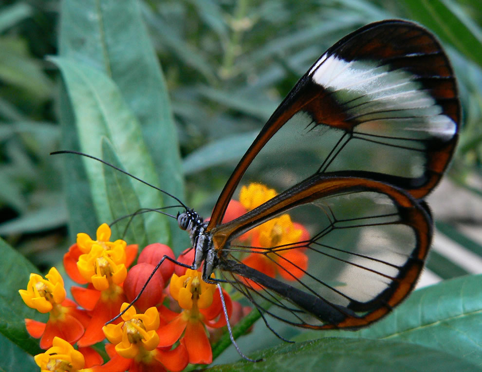 Glasswing butterfly wings become windows